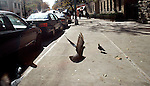 A pigeon takes takes off from a sidewalk in Washington Heights in New York City.