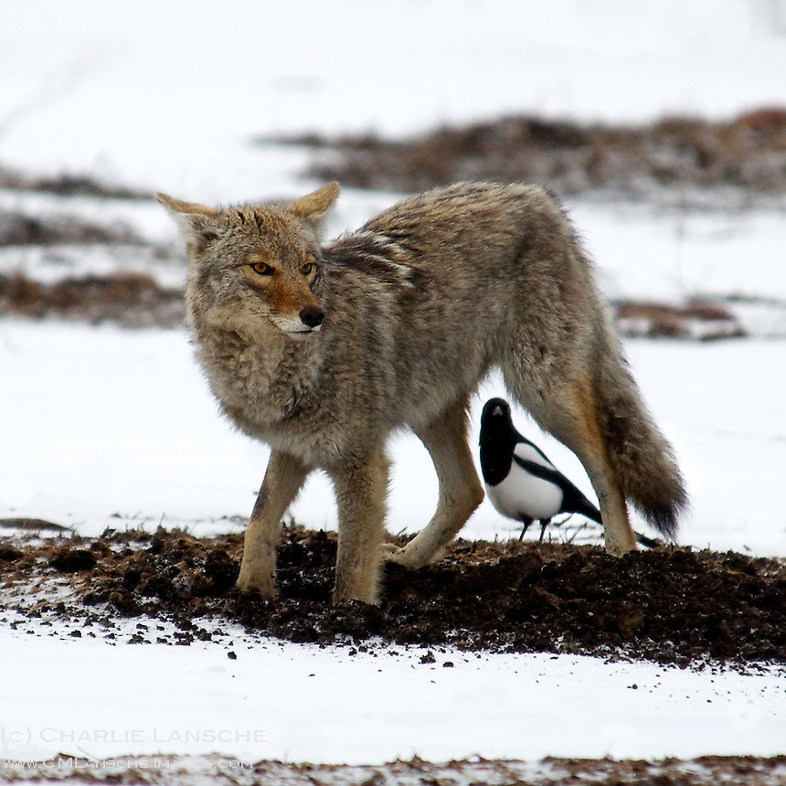 A coyote digs for burrowing voles as a waiting magpie anticipates a free meal.