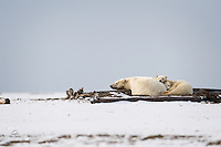 Polar Bear mother found a nice log to sleep on, and her two young cubs used the best pillow available.  The cubs were curious about the humans taking their picture from a boat off shore, but not interested enough to stray away from mom's warmth and comfort.  Kaktovik, Alaska.