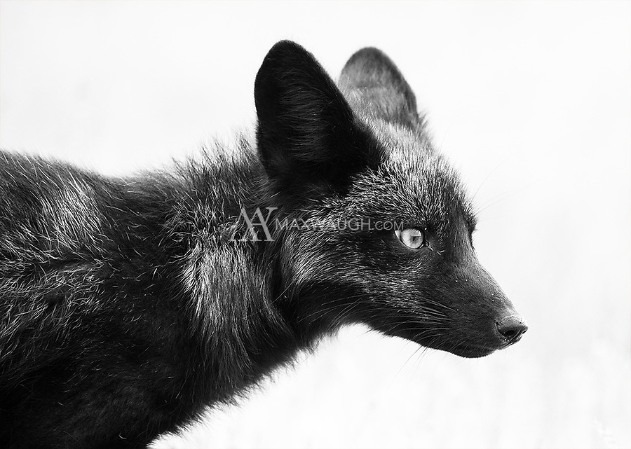 The foxes of San Juan Island come in a variety of colors, including black, silver, orange and even brown.