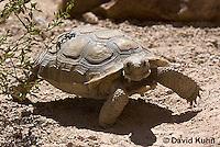 0609-1028  Desert Tortoise (Mojave Desert), Gopherus agassizii  © David Kuhn/Dwight Kuhn Photography