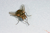 Wadenstecher, Wadenbeißer, Gemeine Stechfliege, Brennfliege, Stomoxys calcitrans, stable fly, barn fly, biting house fly, dog fly, power mower fly, stomoxe, mouche piquante, encore mouche charbonneuse, phlegmoneuse