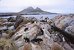 Rockhopper and gentoo penguins. Steeple Jason Island.  Falklands