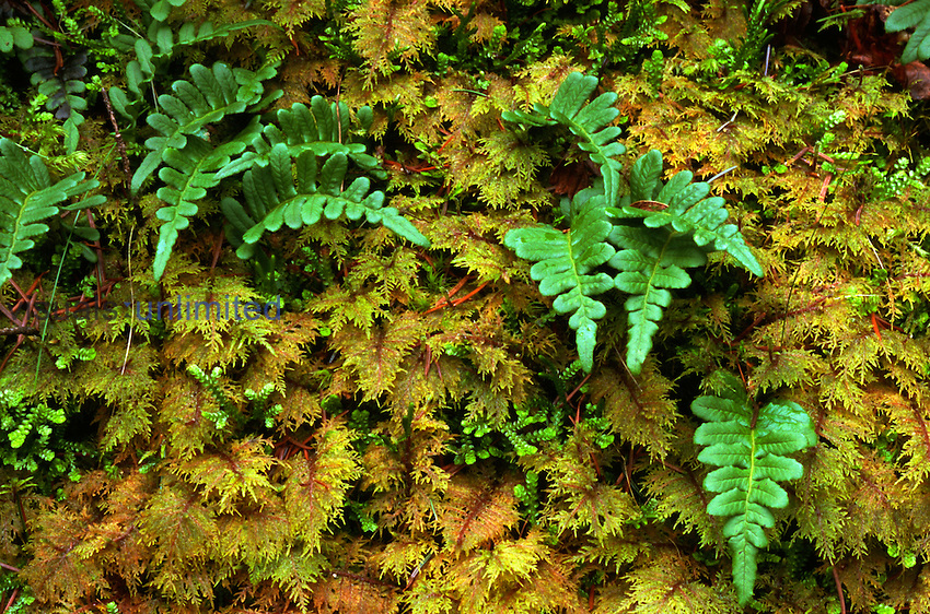 Licorice Fern (Polypodium glycyrrhiza) and Stair Step Moss (Hyclomium splendens), Columbia River Gorge, Oregon, USA