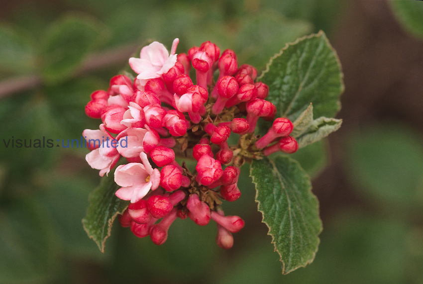 Aurora variety of Korean Spice (Viburnum carlessii, a heavily scented spring flowering deciduous shrub.
