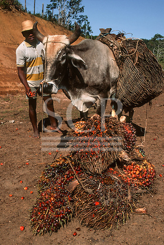 Bahia State, Brazil. Man with dende palm fruit (Elaeis guyanensis) which he is taking to market in basket panniers on a cow.