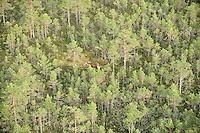 Elk (Alces alces). Kemeri National Park, Latvia