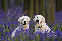 WEATHER PICTURE<br /> Two golden retrievers rest as sunset falls on Dockey Wood on the Ashridge Estate, Hertfordshire, UK. Work is being undertaken to protect the bluebells and encourage visitors to stay on the marked footpaths.