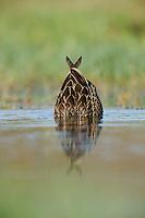 Mottled Duck (Anas fulvigula), pair, Fennessey Ranch, Refugio, Corpus Christi, Coastal Bend, Texas Coast, USA