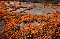 Namaqualand wildflowers,  Namaqualand, South Africa  a  One of the world's largest wildflower blooms  Dimropotheca sp.