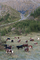 Cattle grazing on the frosty grass near the Refugio Elisabeta, Mont Blanc, September 2007