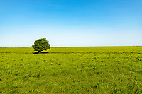 A lone tree in the Tall Grass Prairie of the Flint Hills in Kansas.