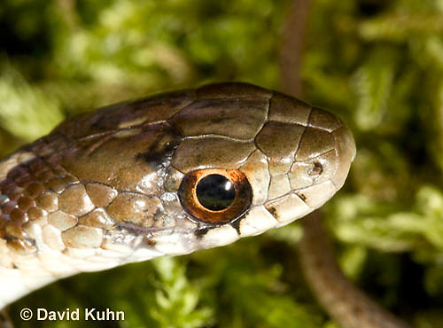 0102-0905  Close-up of Head of Young Garter Snake on Moss, Thamnophis sirtalis, Maine  © David Kuhn/Dwight Kuhn Photography