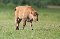 Bison calf walking in a field