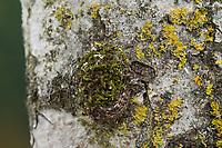 Großer Gabelschwanz, Raupe beim Bau des Kokon, Puppenkokon, Puppe, Cerura vinula, Dicranura vinula, puss moth, caterpillar, pupa, cocoon, La Queue fourchue, Vinule, Grande harpie, Zahnspinner, Notodontidae