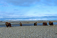 Five Muskox bulls along river in Alaska arctic.