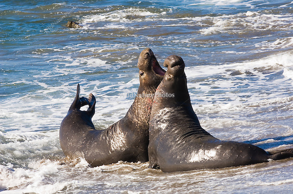 Two Norther Elephant Seal bulls (Mirounga angustirostris) fighting during mating season; Central California