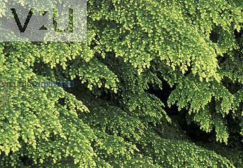 Western Hemlock tree needles (Tsuga heterophylla), North America.