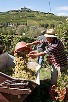 Raccolta dell'uva ai vigneti dei signori Franchini presso Montescano (Pavia) nell'Oltrepò Pavese. Sullo sfondo: il castello di Cigognola --- Grape harvest at Franchini's vineyards near Montescano (Pavia) in the Oltrepò Pavese. On the background: the castle of Cigognola