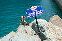 Iguana violating the law.