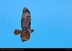 Red-tailed Hawk, Rufous Morph Juvenile in Flight, Sepulveda Wildlife Refuge, Southern California