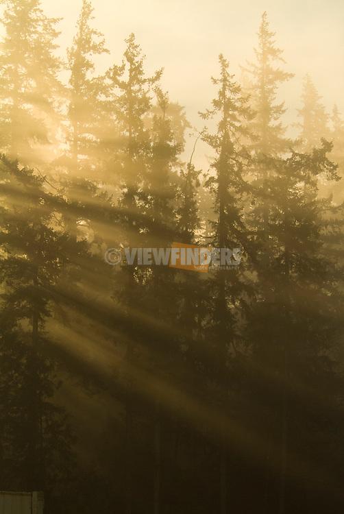 Sunlight streaming through Douglas Fir Trees, Oregon