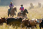 Cowboy Photography Workshop   Erickson Cattle Co. ..Dan and Andra Erickson move cattle... Photo by Al Golub/Golub Photography