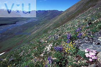 Arctic tundra, Arctic National Wildlife Refuge, Alaska. Meandering Kongakut River. Summer wildflowers include Siberian phlox, arctic lupine, mountain avens, and saxifrage.