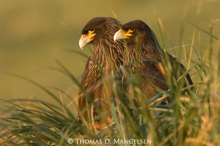 Pair of Striated Caracaras among grasses on Steeple Jason Island.