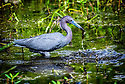 April 19 thru 21 2016 / Jupiter Florida and vicenity / Little Blue Heron / Photo by Bob Laramie
