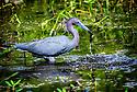 April 19 thru 21 2016 / Jupiter Florida and vicenity / Little Blue Heron / Photo by Bob Laramie