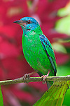 Blue Dacnis, Costa Rica