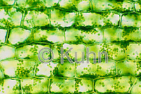 PX09-003e  Elodea Plant - live cells with chloroplasts - Anacharis spp.  250x
