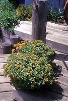 Sedum container garden on tiered seaside deck planter, in bloom with yellow flowers