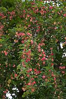 Kirschpflaume, Kirsch-Pflaume, Myrobalane, Türkenkirsche, Früchte, Wildpflaume, Wildobst, Obst, Prunus cerasifera, Cherry Plum, Myrobalan Plum