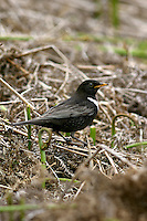 Ring Ouzel Turdus torquatus - Male L 25-26cm. Upland counterpart of Blackbird. Typically alert and wary. Sexes are dissimilar. Adult male has mainly black plumage with striking white crescent on breast and pale fringes to wing feathers. Legs are dark, bill is yellowish, and feathers on underparts have pale fringes. Adult female is similar but dark elements of plumage are browner and pale crescent on breast is grubby white. 1st winter birds look rather dark with pale feather fringes all over and hint of adult's pale crescent on breast. Voice Utters a harsh tchuck alarm call. Song comprises short bursts of fluty phrases. Status Local summer visitor to rugged moorland and lower mountain slopes.