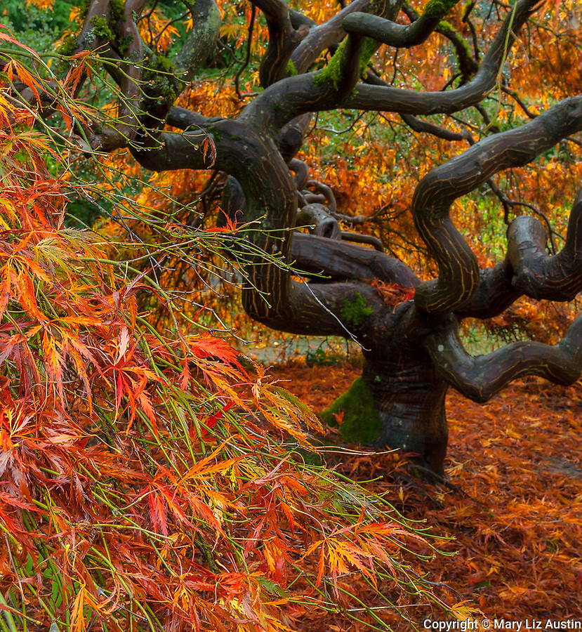 Kubota Garden, Seattle, WA: Twisted trunk and branches of a lace-leafed Japanese maple in fall color