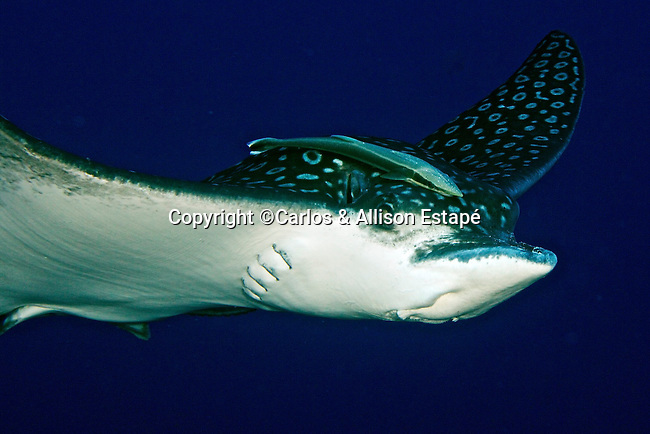 Aetobatus narinari, Spotted eagle ray, Grand Cayman