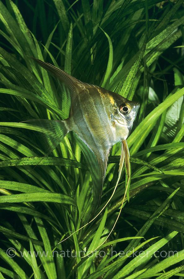Hoher Segelflosser, Hoher Skalar, Altum Skalar, Altum-Skalar, Pterophyllum altum, altum angelfish, deep angelfish, Orinoco angelfish, Le scalaire haut, altum, Skalare