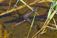 33870001 wild male and female western red damsels amphiagrion abbreviatum perch on a waterborne plant stem while in copula or wheel a breeding position over sulfa ponds in mono county california