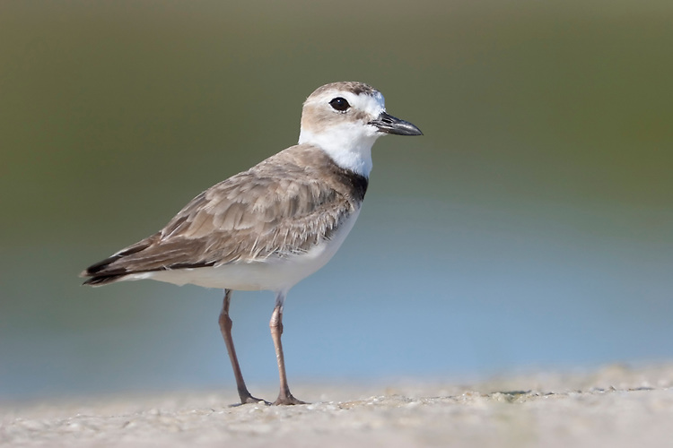 Wilson's Plover - Charadrius wilsonia - Adult in summer breeding plumage