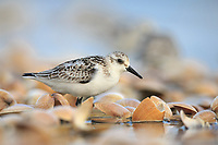 Juvenile Sanderlings (Calidris alba) foraging. Nakdong Estuary, Busan, South Korea. October.