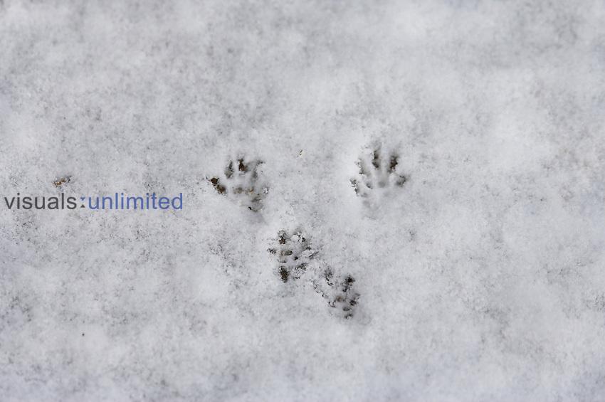 Red Squirrel (Sciurus vulgaris) tracks in snow, Normandy, France