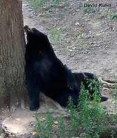 1021-1006  American Black Bear Resting on its Back Against a Tree, Ursus americanus  © David Kuhn/Dwight Kuhn Photography