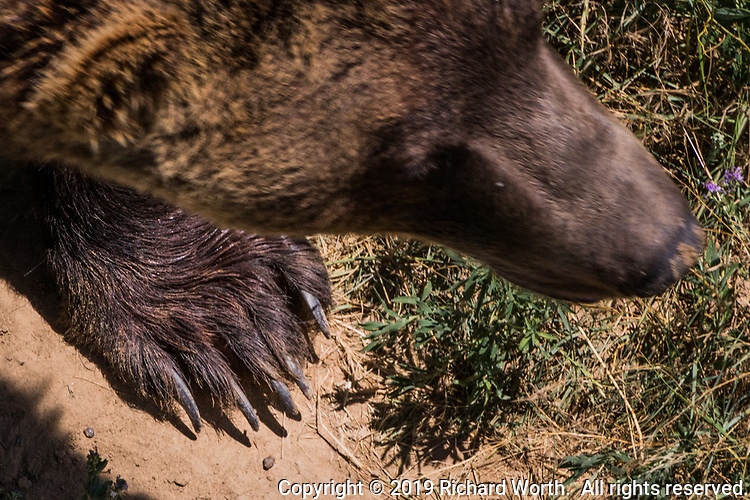 Seen from above, the massive paw of a rescued bear exploring the Wildlife Sanctuary on the plains north of Denver,Colorado