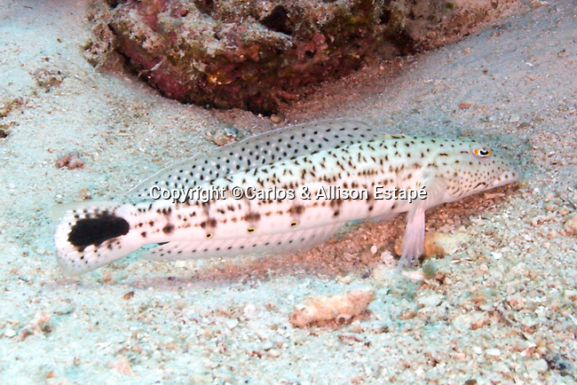 Parapercis hexophthalma, Speckled sandperch, Raja Ampat, Indonesia
