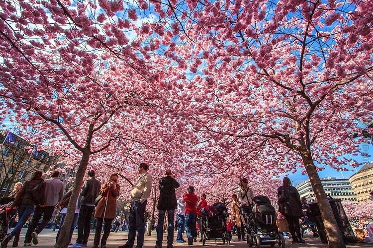 Rosa körbärsblommor i Kungsträdgården Stockholm