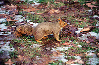 RODENTS<br /> Fox Squirrel, Sciurus Niger