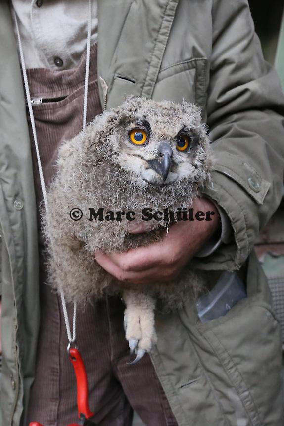 Klaus Hillerich von der Vogelwarte Helgoland beringt die jungen Uhus am Abfallzentrum Büttelborn