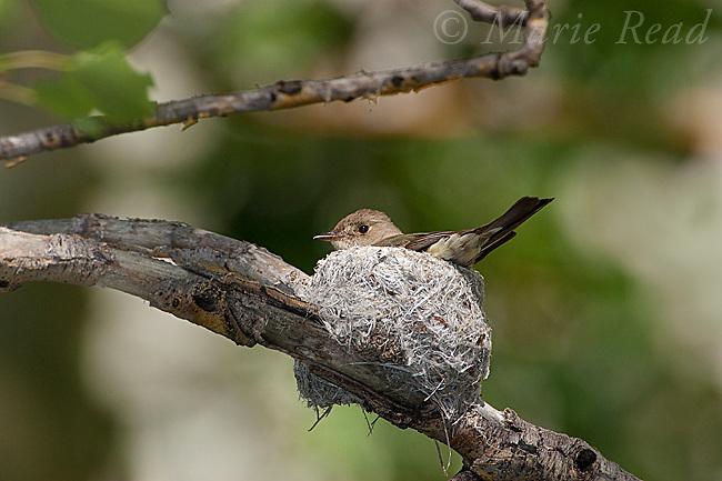 Western Wood-Pewee (Contopus sordidulus) (female) incubating on her nest, Mono Lake Basin, California, USA